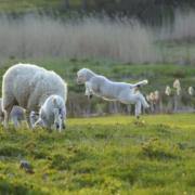 Billed af får