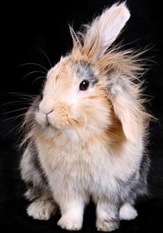 Billed af Angora kaninen