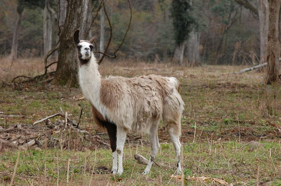 Del 7 i strikke KALen med et Lama par billed af en Llama
