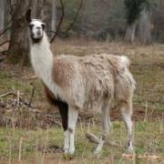 Billed af en Lama